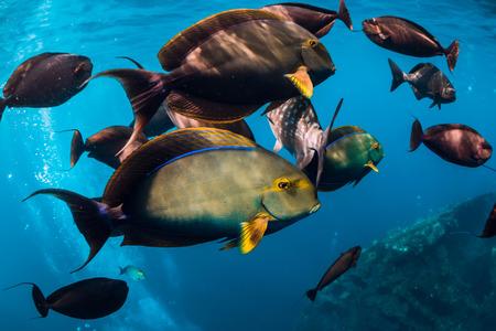 Photo pour Underwater wild world with school of fish in blue ocean - image libre de droit