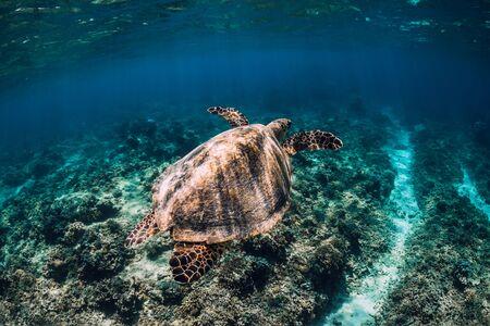 Foto de Sea turtle glides n ocean. Underwater shot with turtle - Imagen libre de derechos