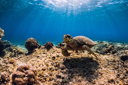 Photo pour Sea turtle glides in ocean. Underwater view with turtle - image libre de droit