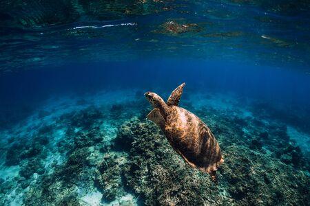 Foto de Green sea turtle swimming above a coral reef, closeup view - Imagen libre de derechos
