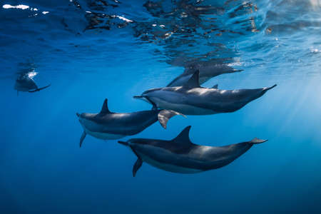 Photo for Family of Spinner dolphins in tropical ocean with sunlight. Dolphins swimming in underwater - Royalty Free Image