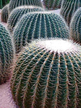 Several large cacti Echinocactus grusonii, popularly known as the golden barrel cactus, Golden ball or mother-in-law's cushion