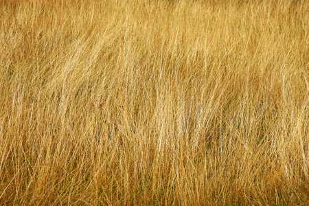 Close up shot of yellow savannah grass
