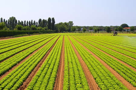 Photo pour Big agriculture field of green salad vegetables - image libre de droit