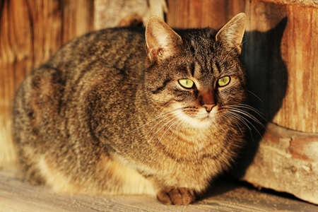 Streaked cat with green eyes in evening light