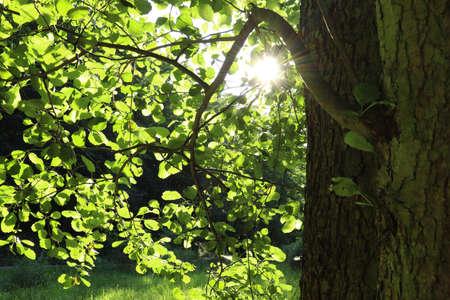 Photo pour The sun shines through the leaves. - image libre de droit