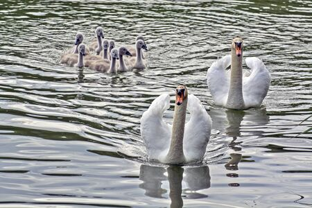 The family of Swans and nine small swans sail contentedly on the river in Vojvodina.