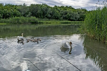 A family of swans and nine small swans sail contentedly along the river Vojvodina. They hang out with the fishermen who feed them.