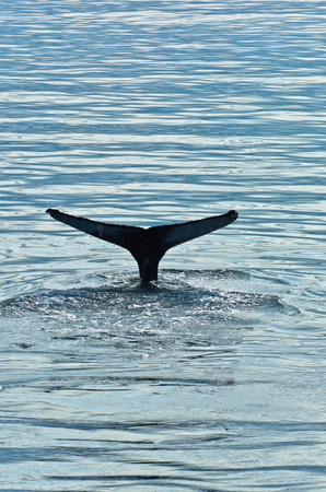 Watching humpback whale at Husavik bay area, north Iceland