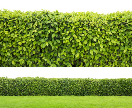 Photo pour green hedge or Green Leaves Wall on isolated - image libre de droit