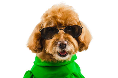 Photo pour An adorable brown toy Poodle dog wearing green casual dress with sunglasses for summer season isolated on white background. - image libre de droit