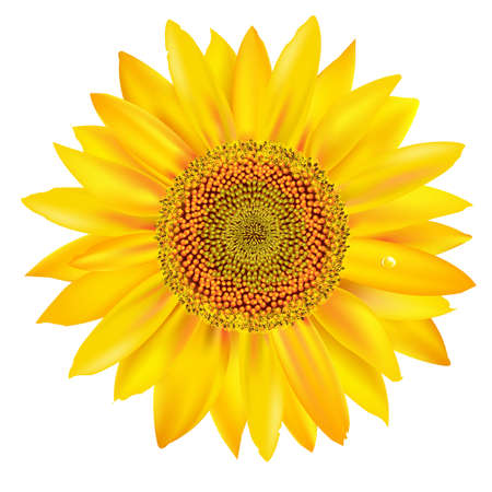Sunflower Petals Closeup, Isolated On White Background