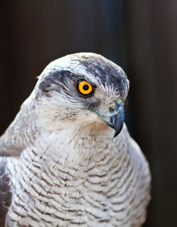 view of Hawk goshawk head