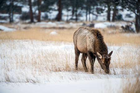 Young Elk in Winter Eating Dry Grass. Colorado Elk.
