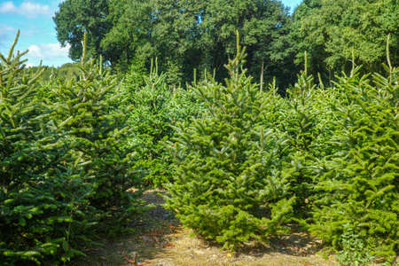 Photo pour Plantatnion of young green fir Christmas trees, nordmann fir and another fir plants cultivation, ready for sale for Christmas and New year celebratoin in winter - image libre de droit