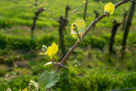 Foto per Young shoots of grape plant in vineyard, spring season on winery - Immagine Royalty Free