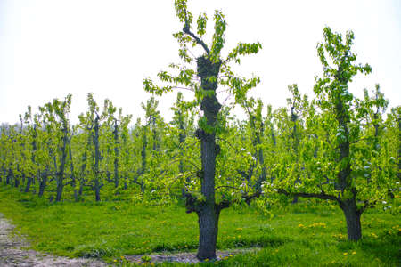 Foto für White pear tree blossom, spring season in fruit orchards in Haspengouw agricultural region in Belgium, landscape - Lizenzfreies Bild