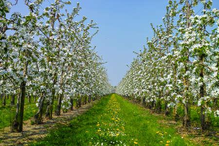 Foto für White apple tree blossom, spring season in fruit orchards in Haspengouw agricultural region in Belgium, landscape - Lizenzfreies Bild