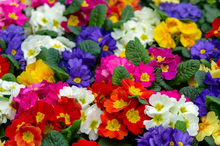 Photo pour Floral background, spring seasonal colofrul garden primula flowers close up - image libre de droit