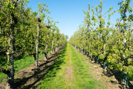 Foto für Rows of pear trees in orchard, fruit region Haspengouw in Belgium, fruit plantation background - Lizenzfreies Bild