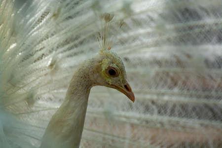 Photo pour Leucistic Indian peacock, Pavo cristatus, beautiful white bird with open tail close up - image libre de droit