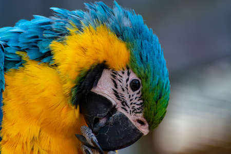 Photo pour Macaw blue-and-yellow parrot, long-tailed colorful exotic bird  close up - image libre de droit