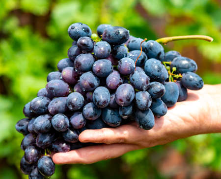 Foto für New harvest of blue, purple or red wine or table grape, hand holding bunch of ripe grape on green grape plant background - Lizenzfreies Bild