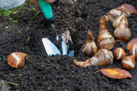Photo for Autumn garden works, shovel and spring flowers bulbs ready for planting, tulips and yellow daffodils - Royalty Free Image