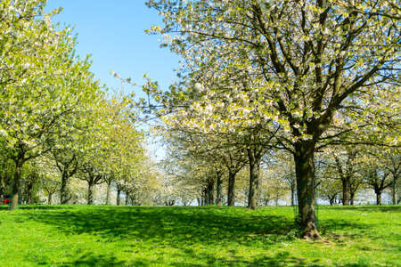 Photo for Spring blossom of cherry trees in orchard, fruit region Haspengouw in Belgium, nature landscape - Royalty Free Image