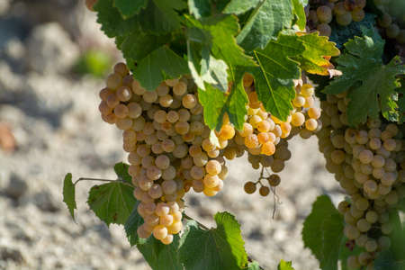 Foto für Ripe white grape growing on special light soil in Andalusia, Spain, sweet pedro ximenez or muscat, or palomino grape ready to harvest, used for production of jerez, sherry sweet and dry wines - Lizenzfreies Bild