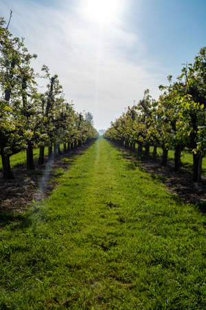 Foto für Rows with old plum or pear fruit trees with white blossom in springtime in farm orchards, Betuwe, Netherlands - Lizenzfreies Bild
