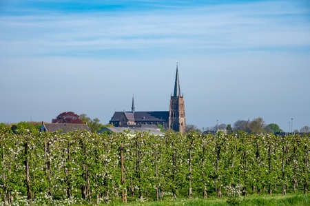 Foto für Springtime in fruit region Betuwe in Netherlands, Dutch old church and blossoming orchard with apple, pear, cherry and pear trees - Lizenzfreies Bild