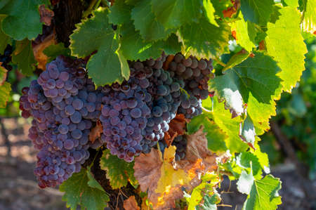 Foto für Ripe black or blue syrah wine grapes using for making rose or red wine ready to harvest on vineyards in Cotes de Provence, region Provence, south of France close up - Lizenzfreies Bild