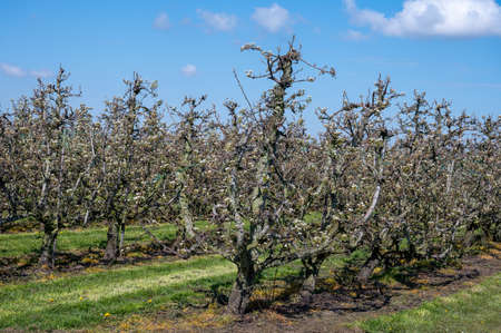 Foto für Cultivation of pear fruits on Dutch orchards, spring white blossom of pear trees, Zeeland, Netherlands - Lizenzfreies Bild