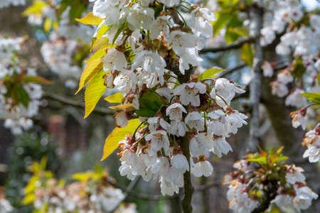 Foto für Spring white blossom of sweet cherry trees on fruit orchards in Zeeland, Netherlands - Lizenzfreies Bild