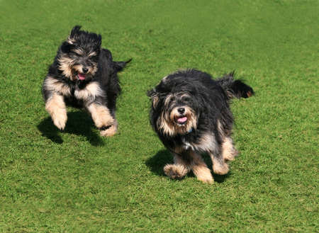 Two happy dogs running on the grass