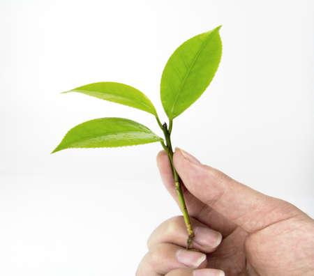 Photo pour Holding green leaves - image libre de droit