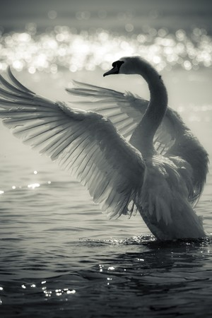 Graceful Swan on a lake in black and white