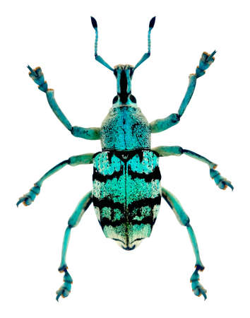 A vector blue weevil Eupholus chevrolati