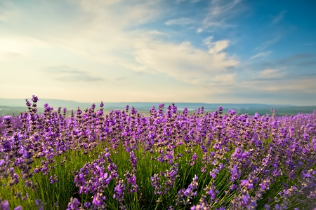The bright blue skies and purple lavender field