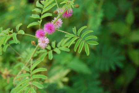 The Sensitive plant - the compound leaves fold inward and droop when touched, re-opening within minutes.