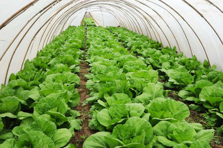 Organic farming, celery cabbage growing in greenhouse