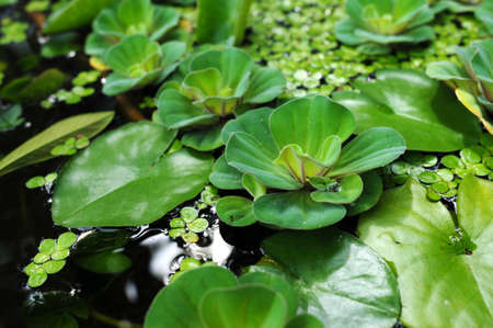 Green water lily leaves in a