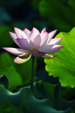 Lotus flower and plant in a pond