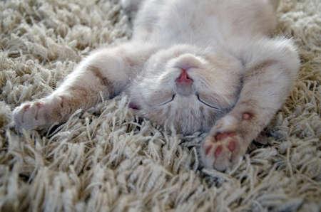 cute cat / kitten sleeping on carpet