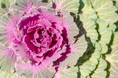 Close Up Of Purple And Green Cabbage