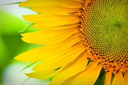 Foto de Sunflower Macro Close Up - Imagen libre de derechos