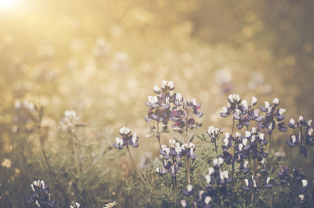 Retro Texas Blue Bonnet Flower with Sunlight