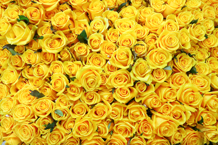 Photo for Flower pattern shot in studio/background/wallpaper - Full shot of yellow roses - Royalty Free Image