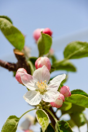 Photo for Beautiful spring apple blossom - Royalty Free Image